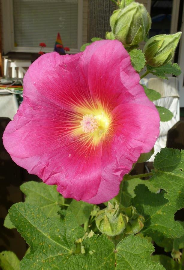Photographie d'une fleur rouge de mauve photographie stock