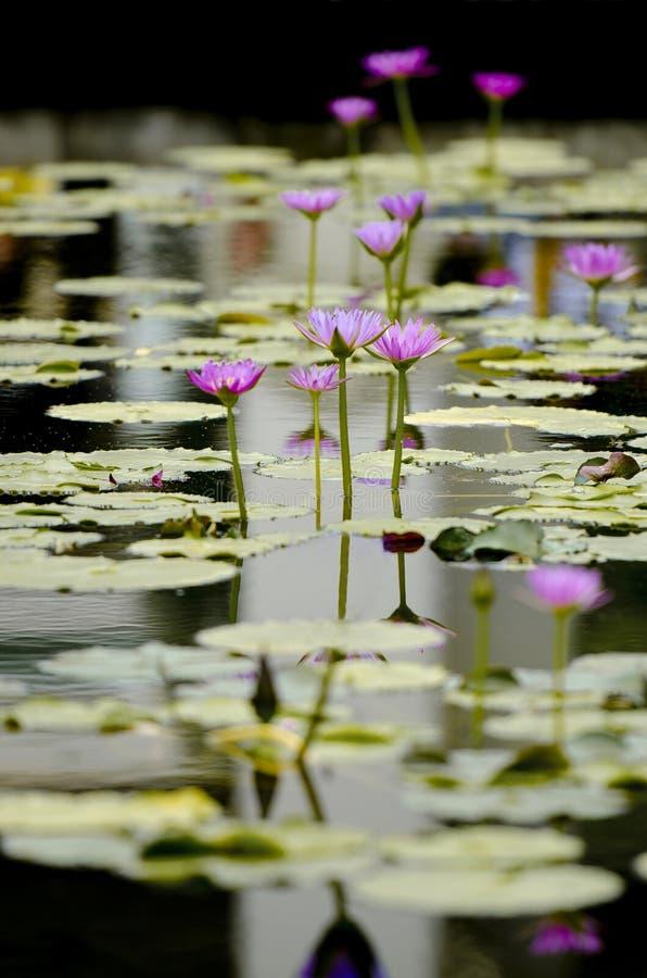 Photographie de beau lotus fleurissant dans une piscine photos libres de droits