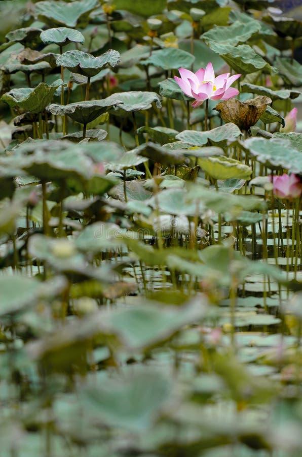 Photographie de beau lotus fleurissant dans une piscine images stock
