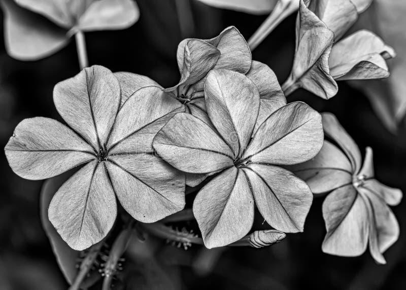 Photographie de beaux-arts noire et blanche de l'auriculata de plumbago de fleur images stock