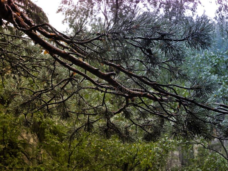 Photographie de branche pelucheuse de vert de pin avec l'effet coloré de filtre de gradient photos libres de droits