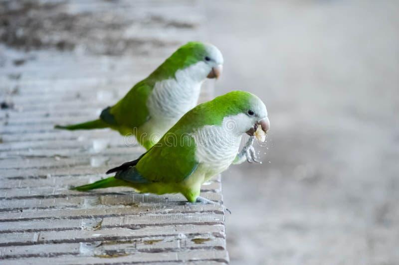 Photographie de deux perruches mangeant sur les banques d'un étang image stock