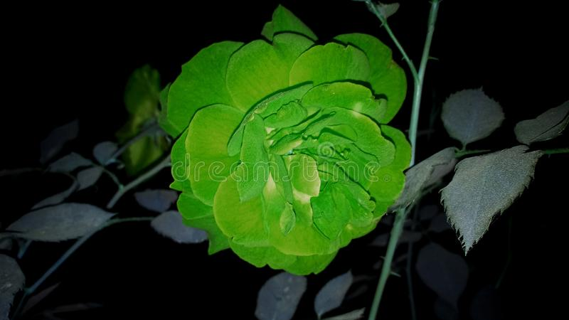 Photographie de fleur de Rose photographie stock libre de droits