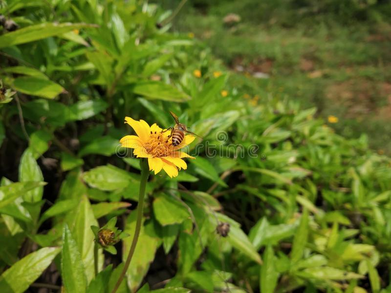 Photographie de foyer sélectif d'abeille de miel sur la fleur photos libres de droits