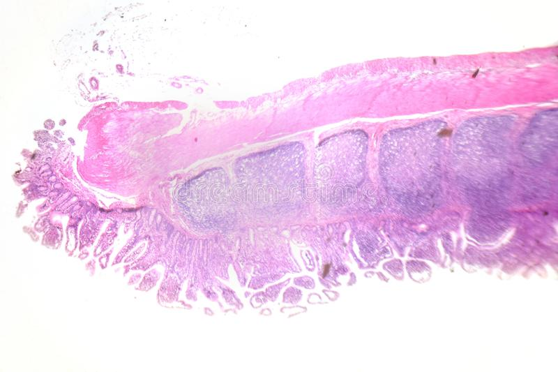 Photographie de microscopie Grand intestinal Section transversale photographie stock libre de droits