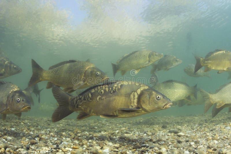 Photographie de natation d'eau du fond de carpio de Cyprinus de carpe photo libre de droits