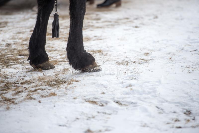 Photographie de plan rapproché des jambes de cheval comme ils se tiennent dans la neige croquante d'hiver photographie stock libre de droits