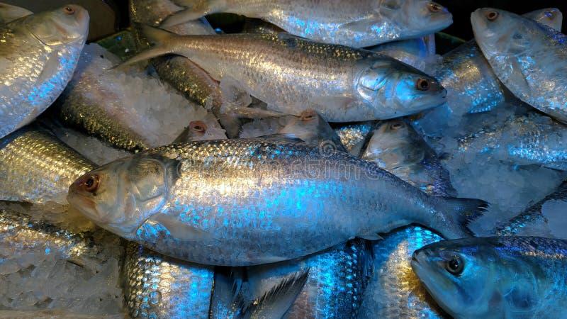 Photographie des poissons savoureux de hilsas de mer photos stock