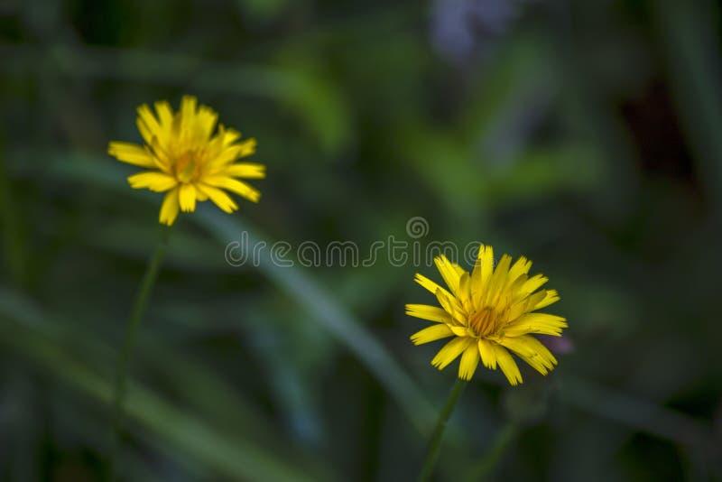Photographie en gros plan de deux fleurs de pissenlit images libres de droits