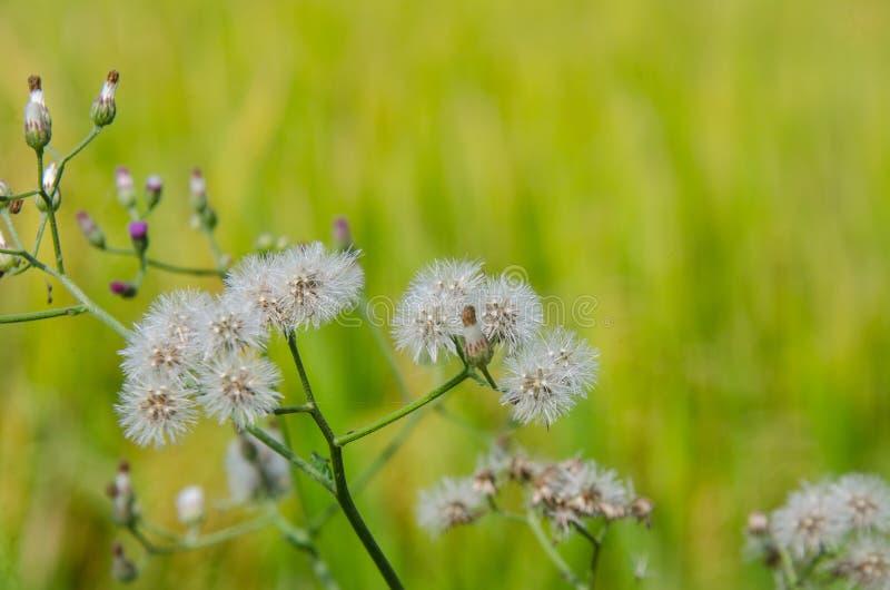 Photographie en gros plan de pissenlit Beauté des fleurs sauvages photo libre de droits
