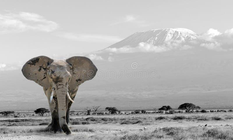 Photographie noire et blanche avec l'éléphant de couleur image libre de droits