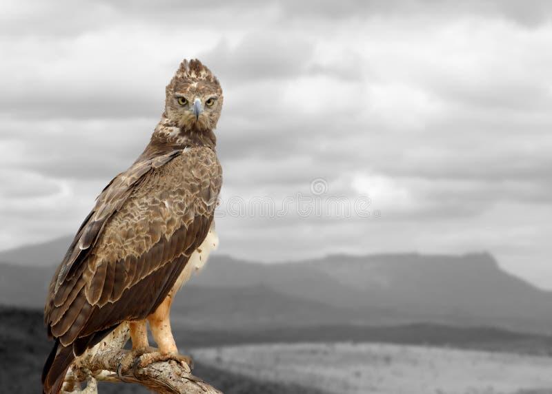 Photographie noire et blanche avec le faucon de couleur photo libre de droits