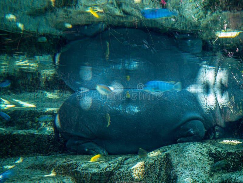 Photographie sous-marine d'un sommeil d'hippopotame image stock