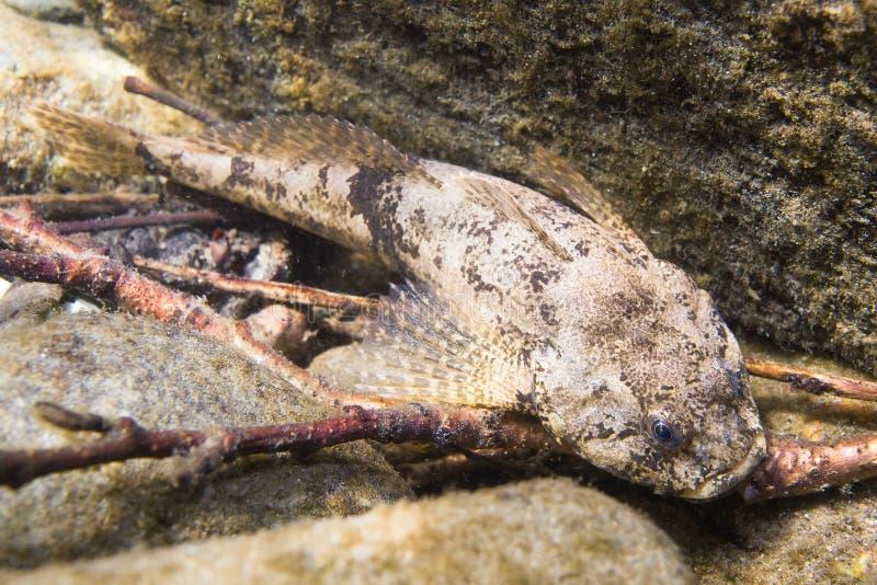 Photographie sous-marine de chabot de rivière de gobio européen de Cottus photographie stock