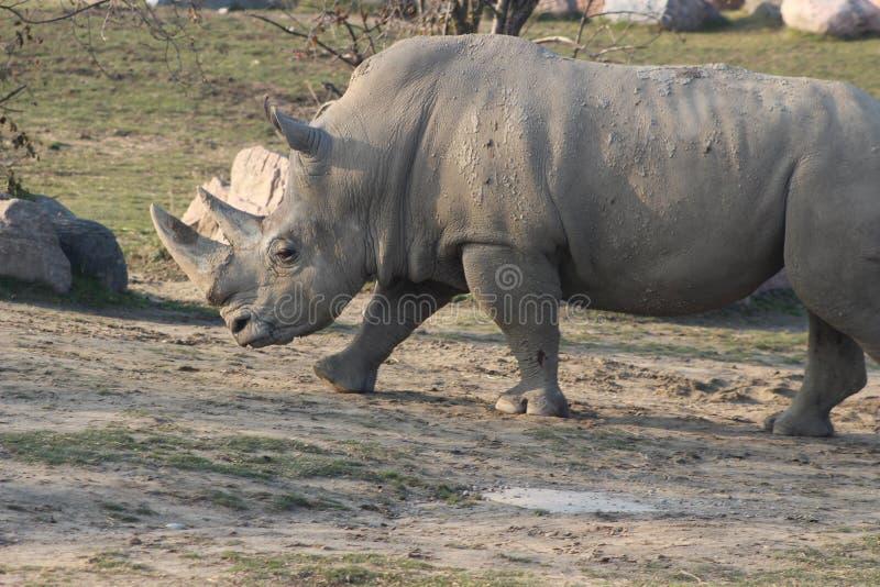 Photographies de portrait de rhinocéros photos stock