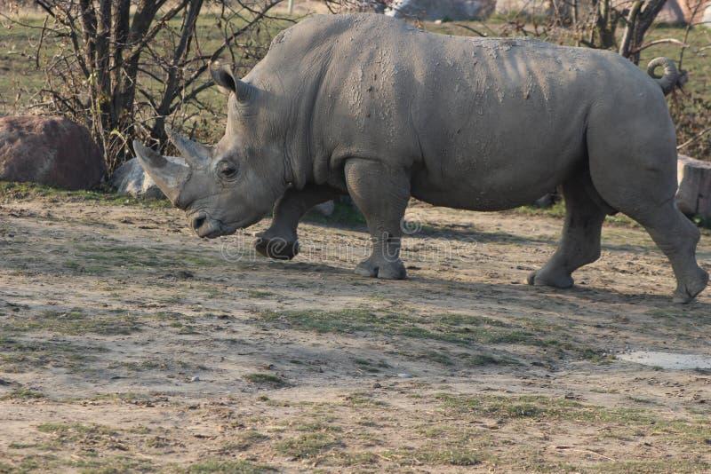 Photographies de portrait de rhinocéros photos libres de droits