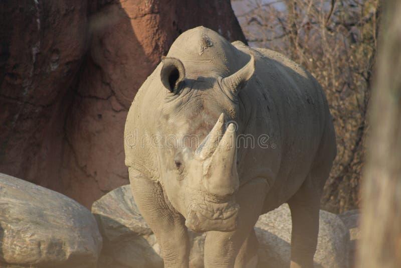 Photographies de portrait de rhinocéros photo libre de droits