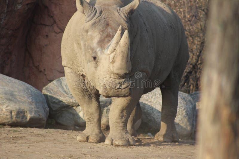 Photographies de portrait de rhinocéros image stock