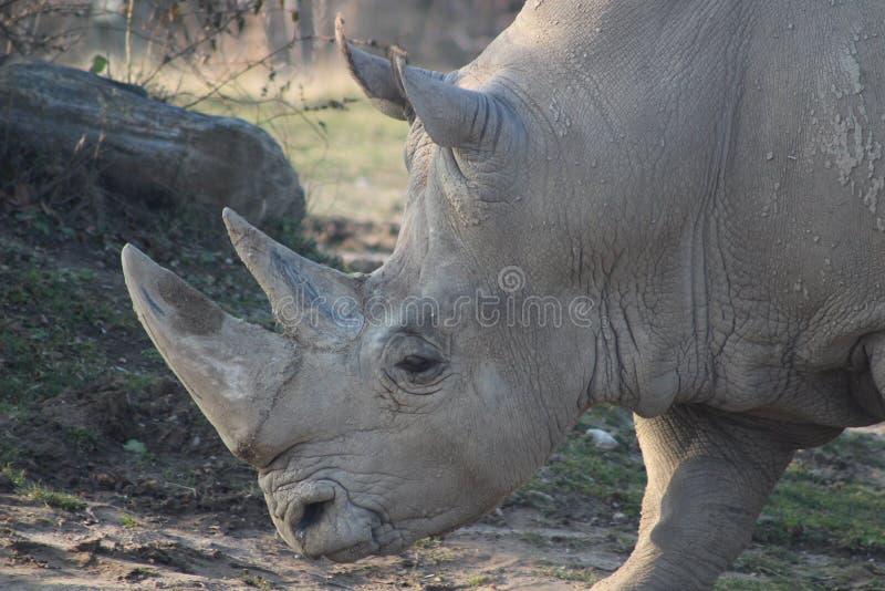 Photographies de portrait de rhinocéros photographie stock