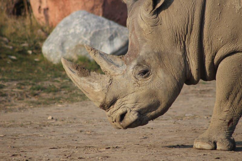 Photographies de portrait de rhinocéros images stock