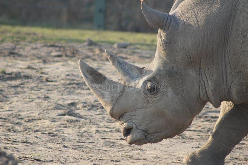 Photographies de portrait de rhinocéros photo stock