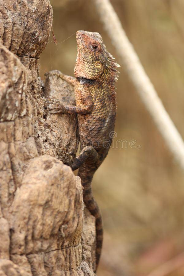 Photographies indiennes de lézards image stock