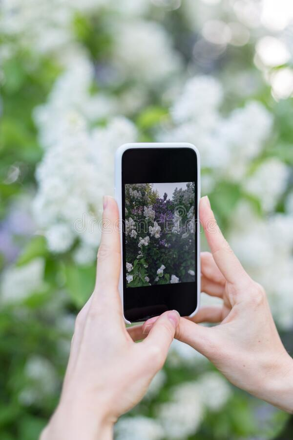 Photographing blossom with smartphone in hand. Girl hold mobile device in hands and taking photo of flowers in spring garden royalty free stock photography