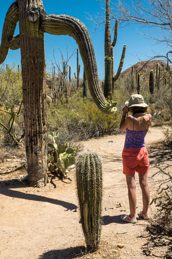 Photographing the Unusual. A woman photographs the blooms on a bizarre Saguaro cactus branch stock images
