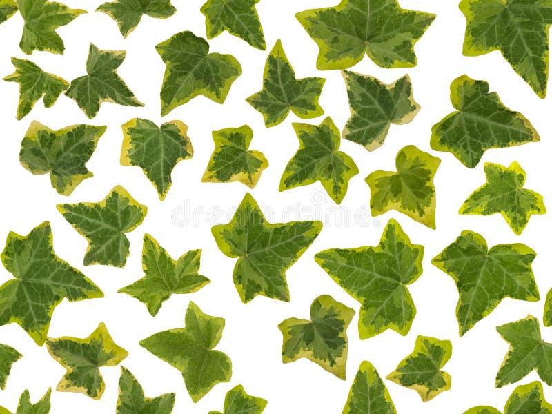 Photographisches Bild von grünen und gelben Efeublättern, auf einem weißen Hintergrund , nahtlos endlos wiederholt werden stockfotos