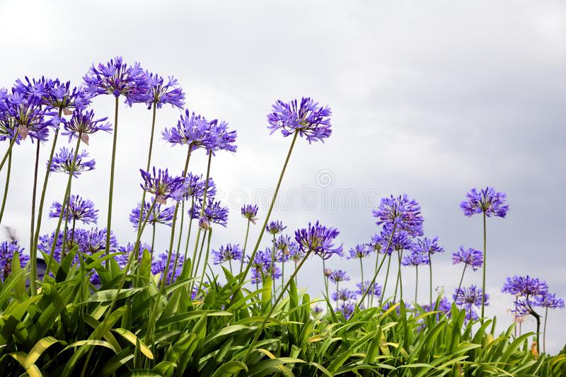 Photography of the agapanthus flower which originates from south africa Agapanthus blue flowers. Agapanthus blue flowers on green background vertical royalty free stock images
