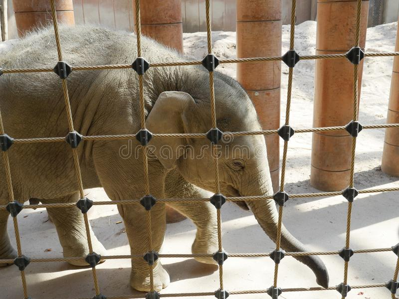 Baby elephant behind a rope fence stock image