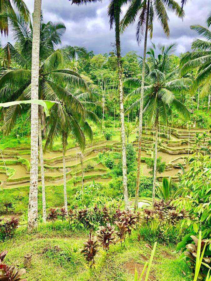 Tall palms among rice terras stock photos