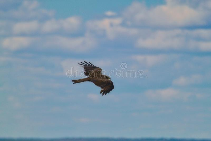 Photography bird of prey eagle close-up flying on a low-level flight against a blurred sky stock photography