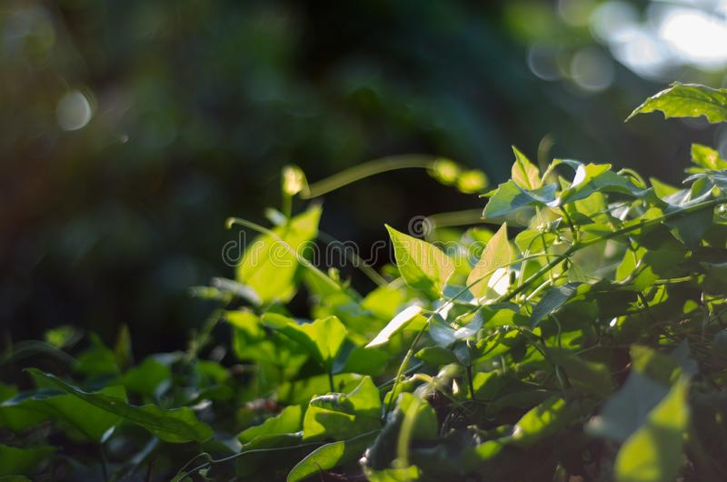 Nature green bokeh sunlight blur leaves background. royalty free stock photo