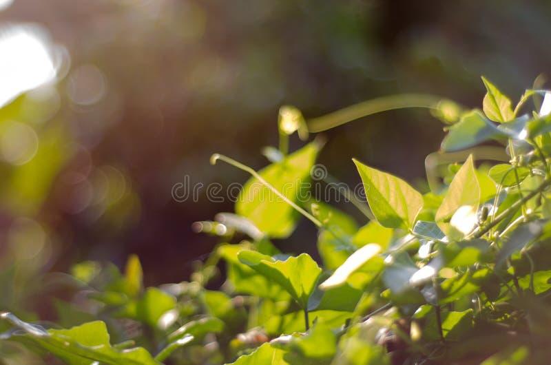 Nature green bokeh sunlight blur leaves background. royalty free stock image