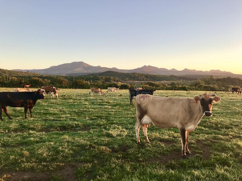 Photography of Cows On Green Field royalty free stock photography