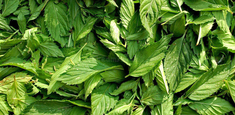 Mentha leaves stock photo