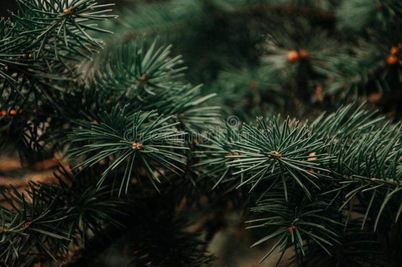 Photography of Green Pine Tree royalty free stock photography