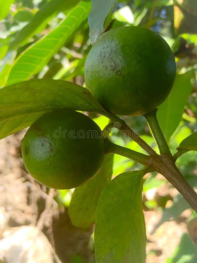The green guava tree in the garden stock photography