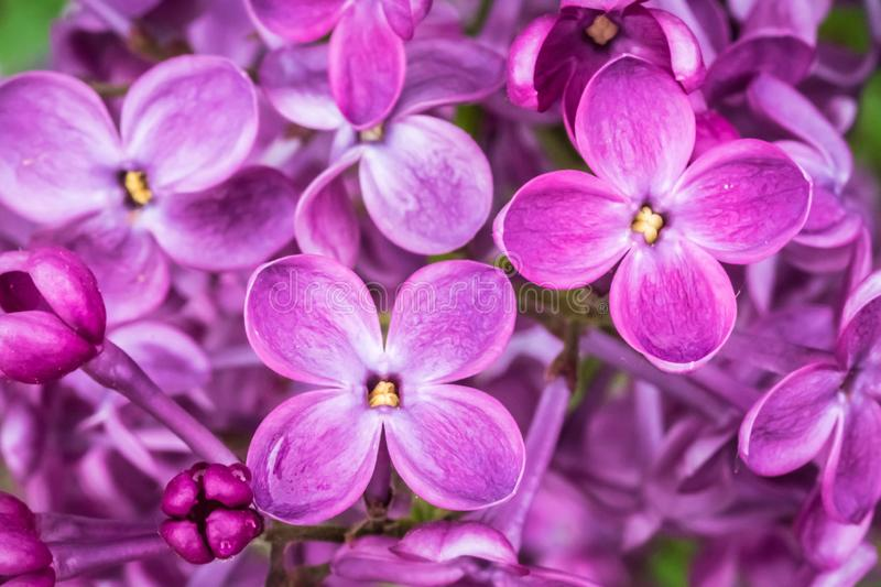 Photography of lilac flowers in spring garden stock photography