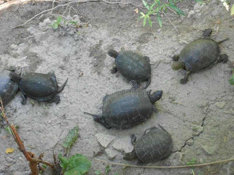 Little group of green turtles royalty free stock images