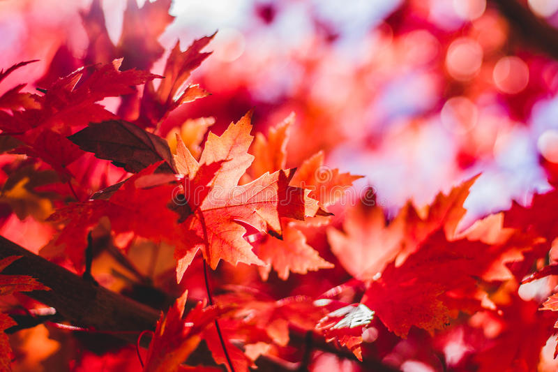 Photography Of Maple Leaves Free Public Domain Cc0 Image