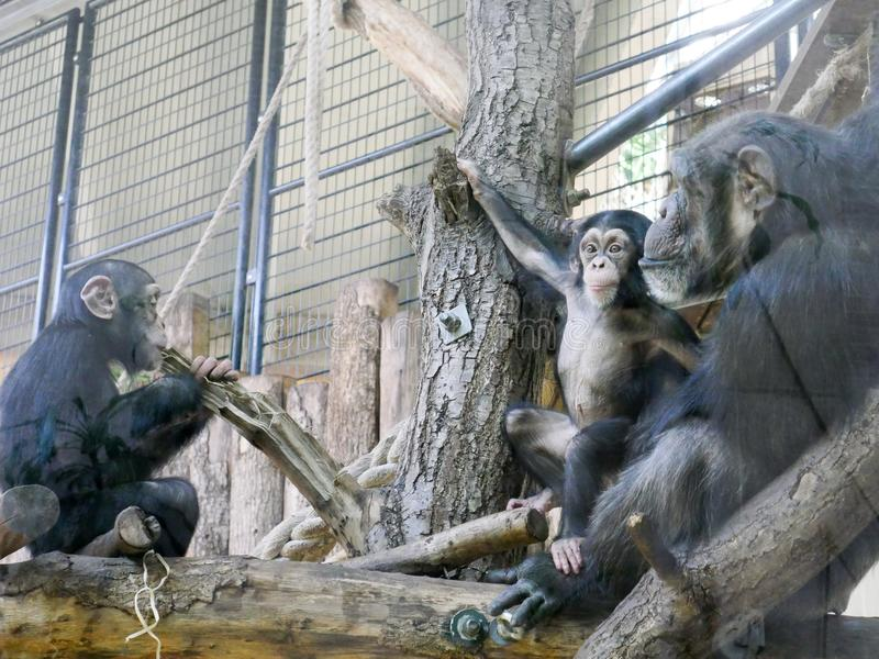 Captive chimps playing. Photography of multiple captive chimps. The photography has been taken in a Zoo royalty free stock photography