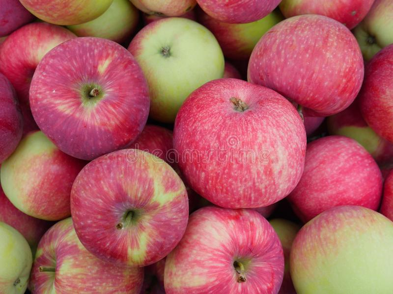 Fresh picked red apples stock images