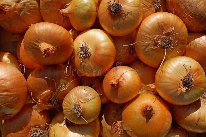 Photography of onions allium cepa royalty free stock photos