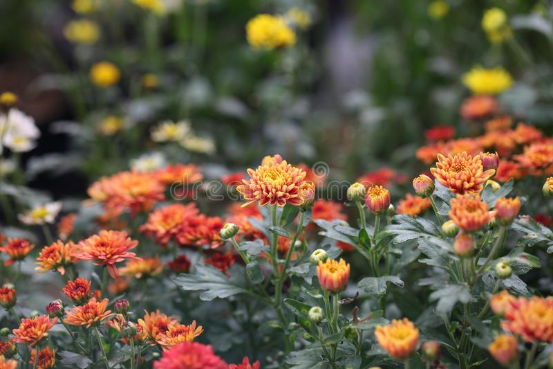Photography of Orange, Red, and White Petaled Flower Field royalty free stock image