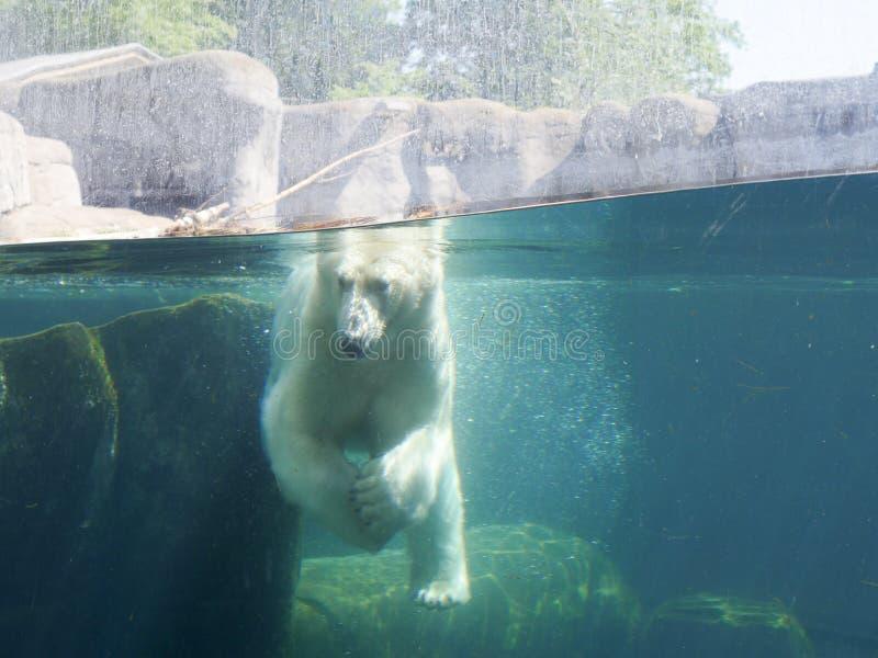 Polar bear - ursus maritimus. Photography of a polar bear underwater in a zoo aquarium. The photography has been taken inside the Copenhagen Zoo stock image