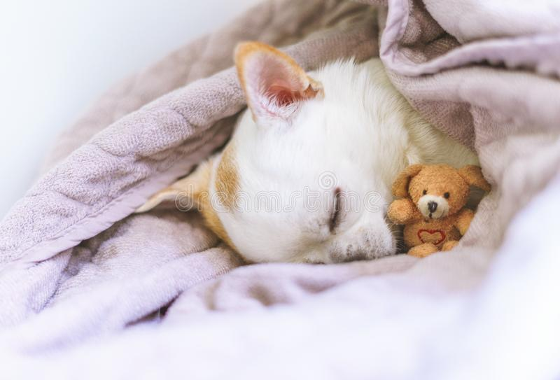 Photography of a cute sleeping chihuahua in basket with his teddy stock photo