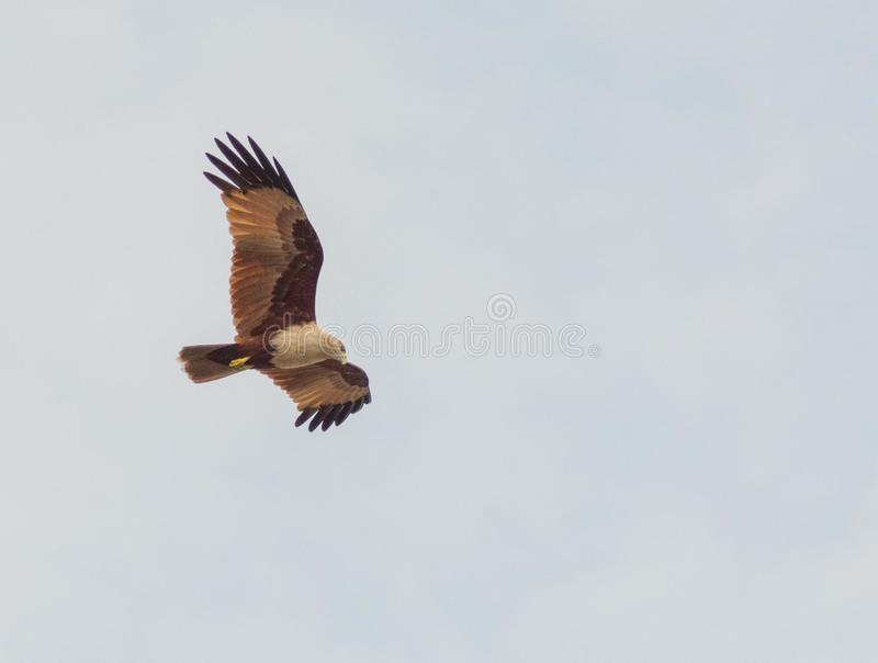 Photography of White and Brown Bird Flying stock photography
