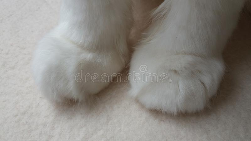 Photography white cat paws. Cat feet. Photography two white fur cat paws. Cat feet. Photography closeup royalty free stock photos